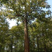 legno teak