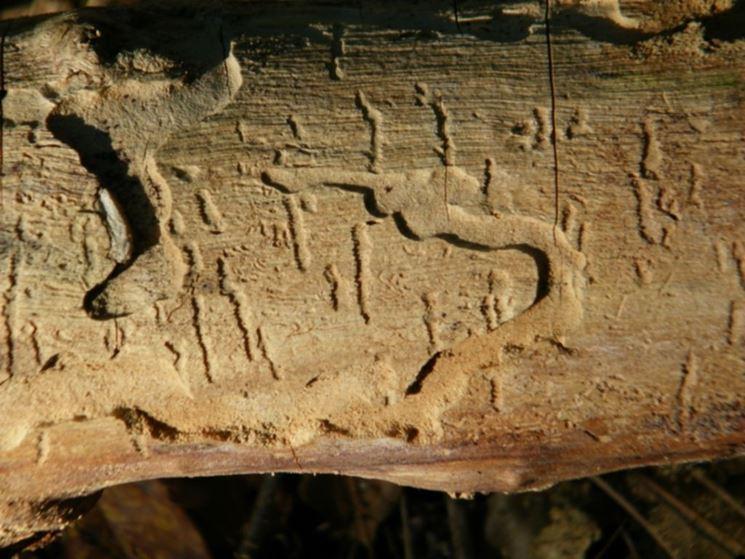 effetti tarlo del legno