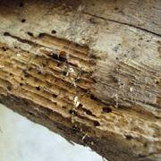 legno con tarli