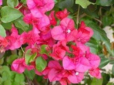 fiori buganville