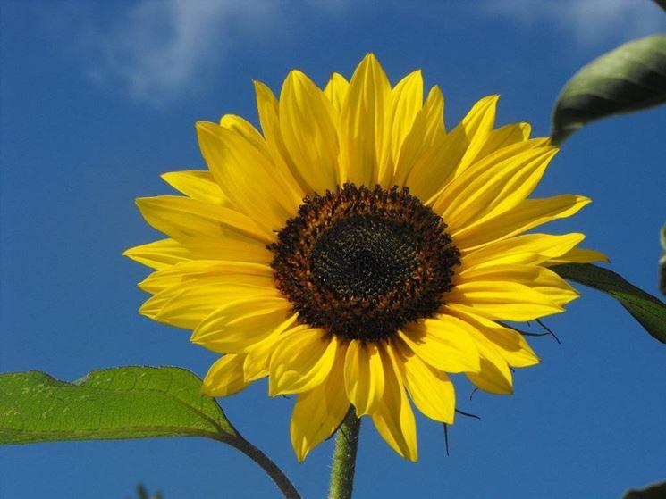 Coltivare il girasole fiori in giardino for Piantare girasoli