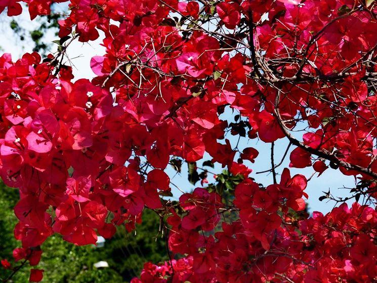 Coltivazione bouganville fiori in giardino for Bouganville fioritura