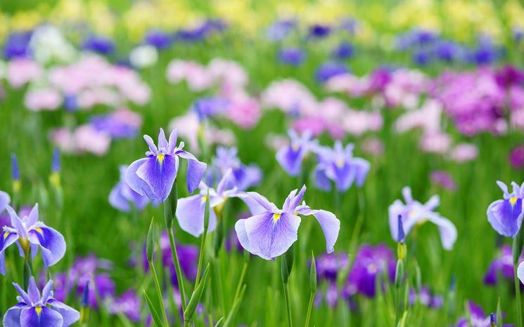 iris fioriti
