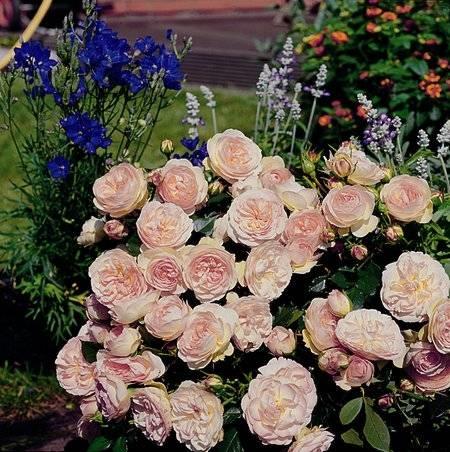 Fiori rose fiori in giardino fiori in giardino le rose for Colorare le rose
