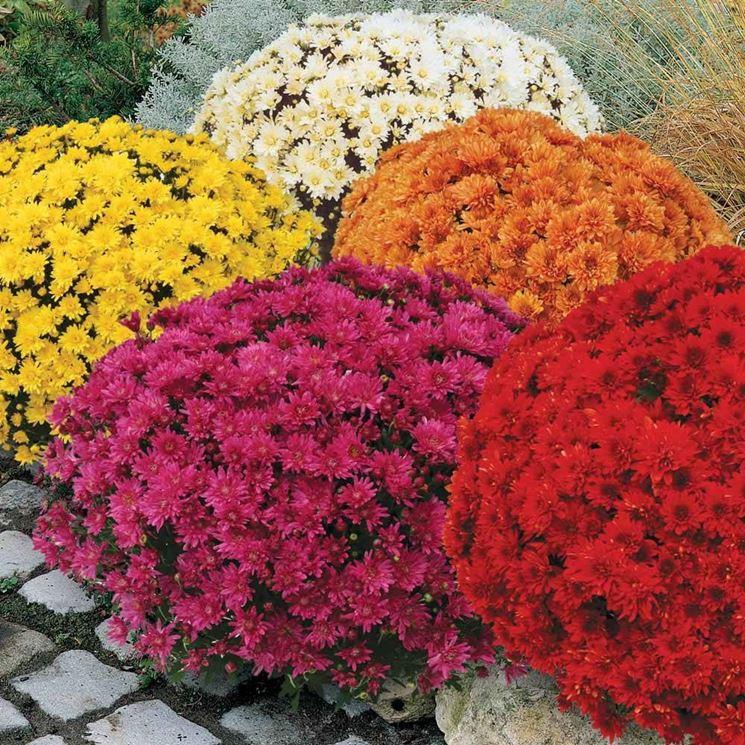 Coltivazione dei crisantemi