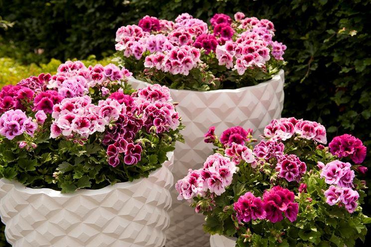 Il geranio fiori in giardino caratteristiche del geranio for Un rampicante fiorifero