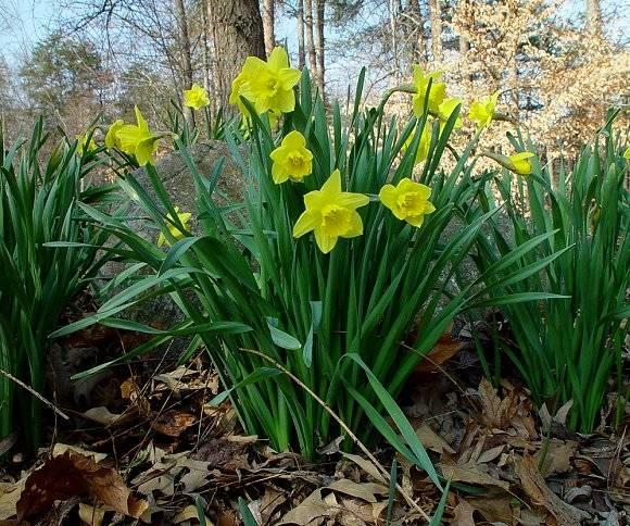 Il narciso fiori in giardino for Bulbi narcisi