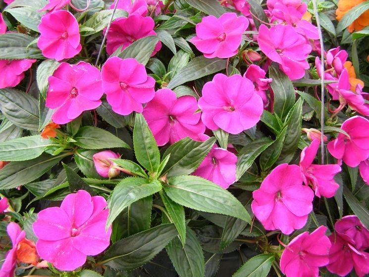 impatiens nuova guinea fiori in giardino coltivare