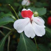 nuova guinea fiori
