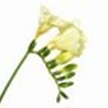 fiore del mistero