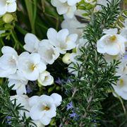 fiore fresia