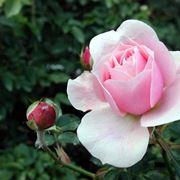 Esistono più di 150 specie differenti di questo splendido fiore