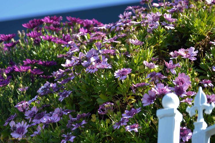 Le margherite fiori in giardino coltivare margherite - Fiori da giardino primavera estate ...