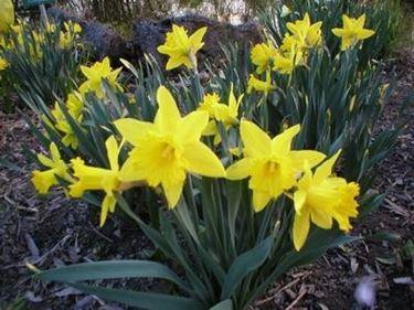 Alcune note di base sul Narciso