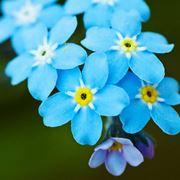 non ti scordar di me fiore