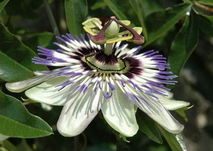 Come far crescere una passiflora