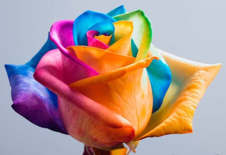 Le specie di rose