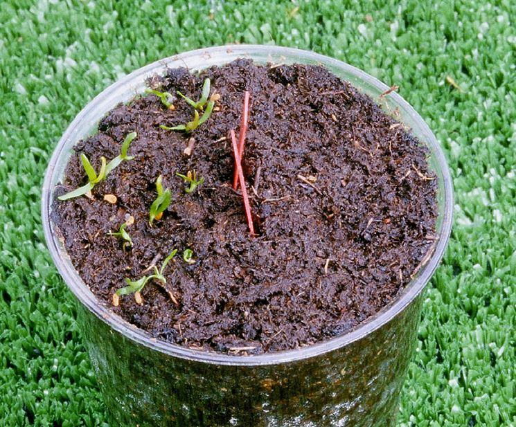 La germinazione dei semi di fiore