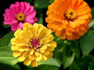 Zinnia fiori in giardino for Vendita semi fiori