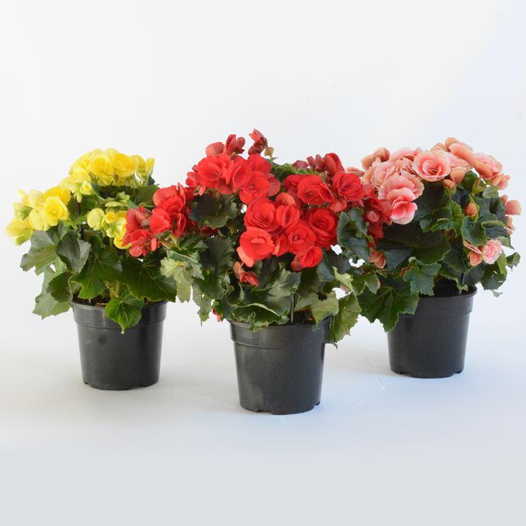 Alcuni vasi di begonie