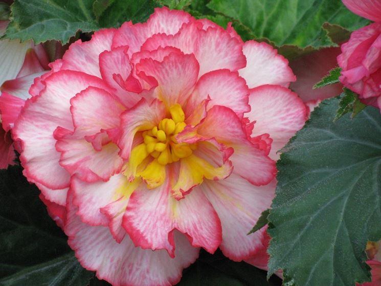 Fiore variegato di begonia