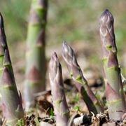 pianta asparagi