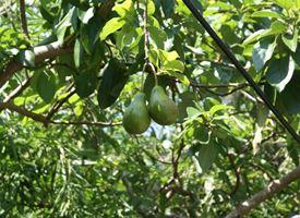 Coltivazione avocado