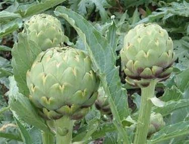 piante di carciofo