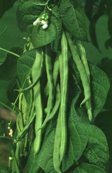 pianta di fagiolini
