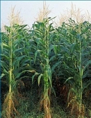 piante mais