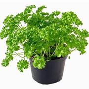 pianta di prezzemolo