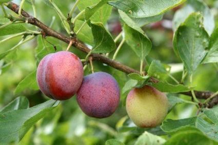 Concimazione piante da frutto giardinaggio for Piante da frutto in giardino
