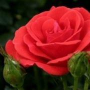 concimare le rose