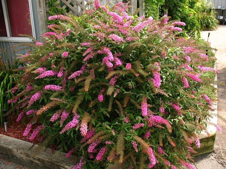 Fiori da giardino perenni giardinaggio tipologie di for Piante da cespuglio