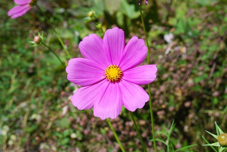 Fiori da giardino perenni giardinaggio tipologie di for Giardino fiori