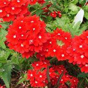fiori da giardino perenni