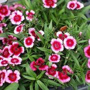 Fiori da giardino perenni giardinaggio tipologie di for Cespugli fioriti perenni da giardino