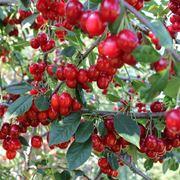 Innestare il ciliegio per produrre buoni frutti