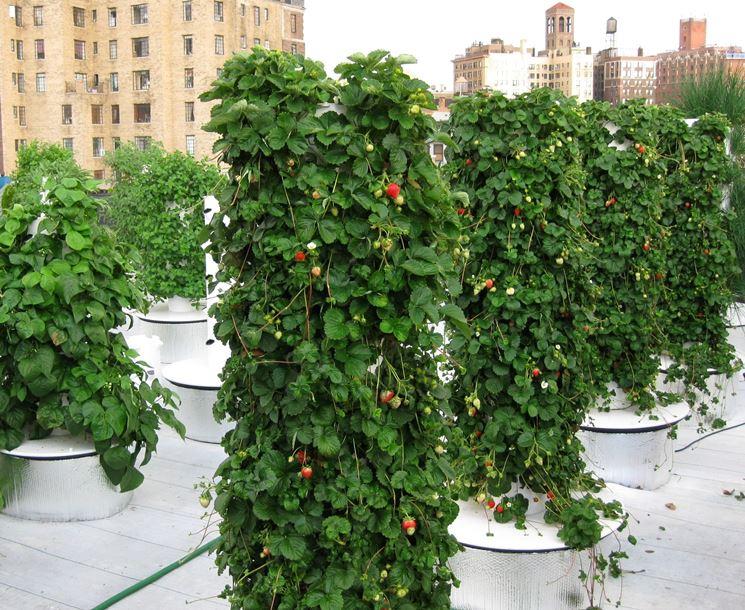 fragole con coltivazione aeroponica