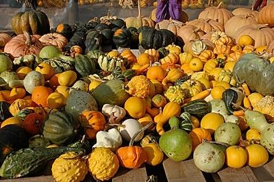Zucche ornamentali giardinaggio - Disegni di zucche ...