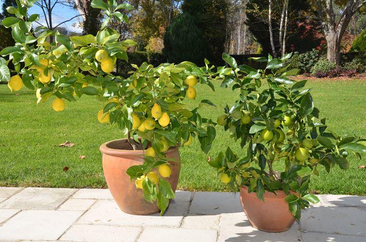Piante di limone in vaso