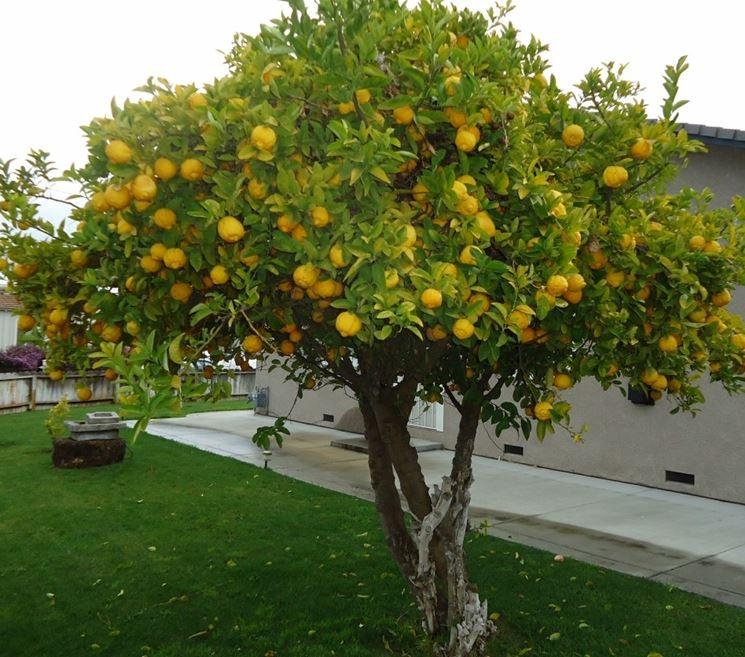 Limone in piena terra