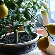 Coltivazione dei limoni in vaso