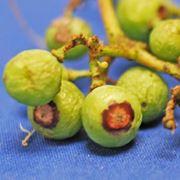 frutti colpiti da antracnosi