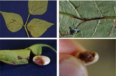 seme malato di antracnosi