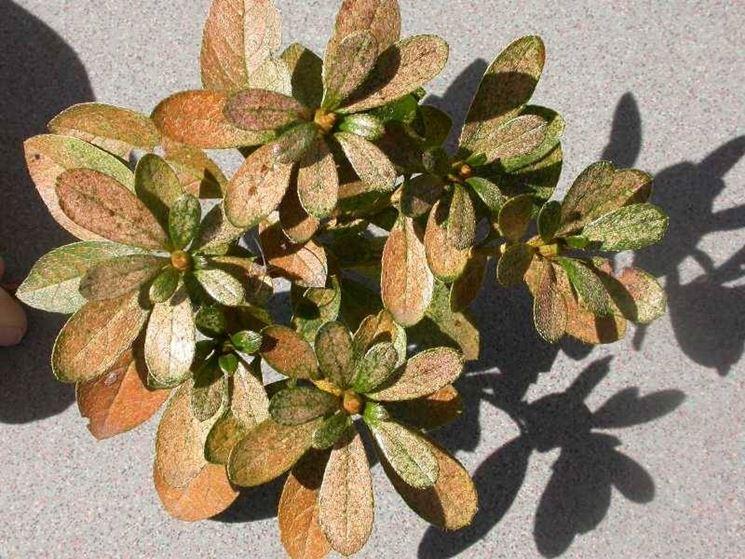 Azalea malattie parassiti e malattie piante - Azalea foglie ...