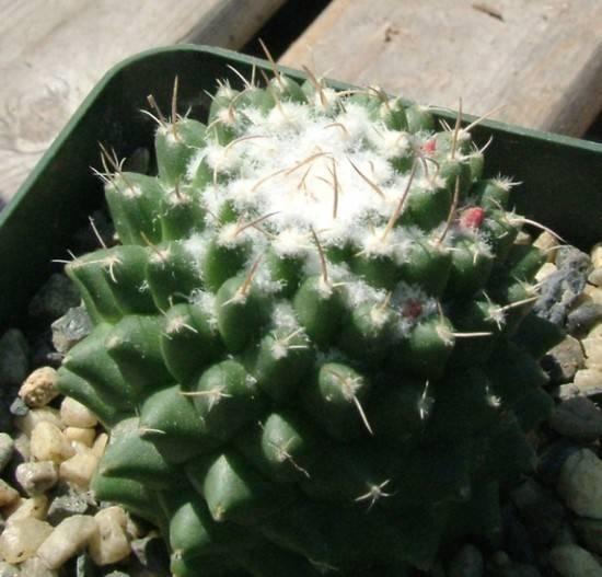 Cactus malattie parassiti e malattie piante for Parassiti piante