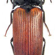 Elateridi insetti