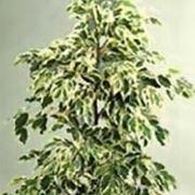 Ficus benjamin perde foglie parassiti e malattie piante for Ficus benjamin perde foglie