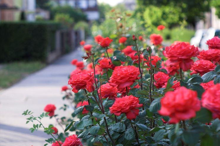 piante di rose